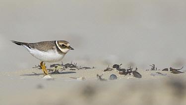 Common Ringed Plover (Charadrius hiaticula) in sandstorm, Ijmuiden, Netherlands  -  Ed Stam/ NIS