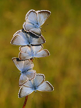 Chalkhill Blue (Polyommatus coridon) group basking, Germany  -  Mignon/ NIS