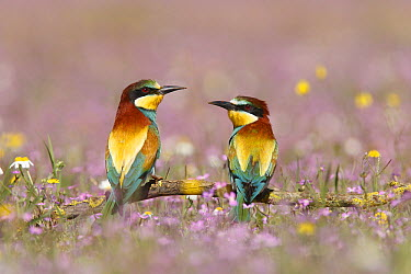 European Bee-eater (Merops apiaster) pair, Andalusia, Spain  -  Ramon Navarro/ NiS
