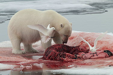Polar Bear (Ursus maritimus) feeding on Bearded Seal (Erignathus barbatus) carcass with Ivory Gulls (Pagophila eburnea) scavenging, Svalbard, Norway  -  Peter Scova Righini/ NIS