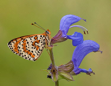 Spotted Fritillary (Melitaea didyma) butterfly on Meadow Clary (Salvia pratensis) flower, France  -  Mignon/ NIS