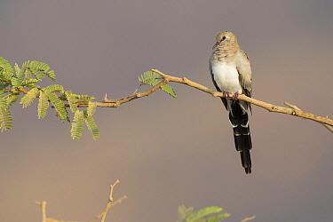 Masked Dove (Oena capensis), Dhofar, Oman  -  David Verdonck/ NIS