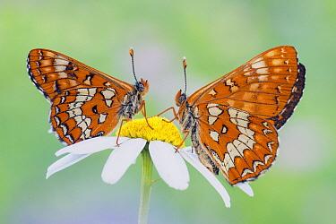 Scarce Fritillary (Hypodryas maturna) butterflies on flower, Hessen, Germany  -  Arik Siegel/ NIS