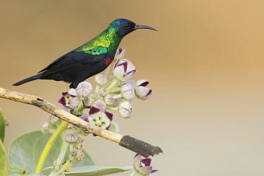 Shining Sunbird (Cinnyris habessinicus), Dhofar, Oman  -  David Verdonck/ NIS