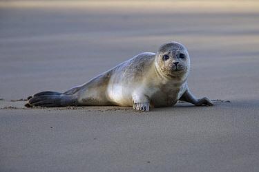 Common Seal (Phoca vitulina) pup on beach, Netherlands  -  Hans Overduin/ NIS