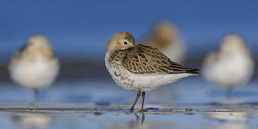 Sanderling (Calidris alba) group on beach at low tide, Netherlands  -  Ed Stam/ NIS
