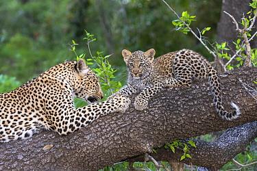 Leopard (Panthera pardus) mother and cub in tree, Masai Mara, Kenya  -  Andrew Schoeman/ NIS