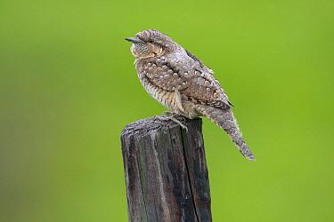 Eurasian Wryneck (Jynx torquilla), Netherlands  -  Cees Uri/ NIS