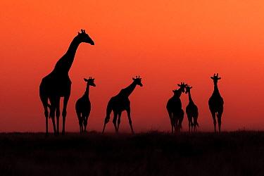 Angolan Giraffe (Giraffa giraffa angolensis) herd at sunset, Etosha National Park, Namibia  -  Andrew Schoeman/ NIS