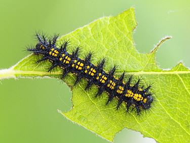 Scarce Fritillary (Hypodryas maturna) caterpillar, Hessen, Germany  -  Arik Siegel/ NIS