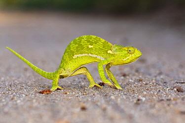 Flap-necked Chameleon (Chamaeleo dilepis) in defensive posture, Sabi Sands Game Reserve, South Africa  -  Brendon Cremer/ NIS