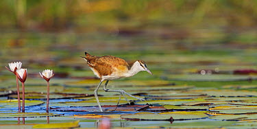 African Jacana (Actophilornis africanus) standing on lily pads, Chobe National Park, Botswana  -  Brendon Cremer/ NIS