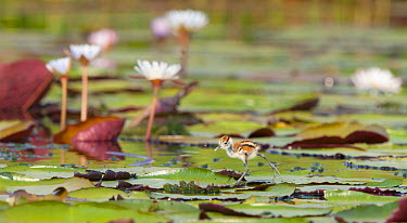 African Jacana (Actophilornis africanus) chick walking over lily pads, Chobe National Park, Botswana  -  Brendon Cremer/ NIS