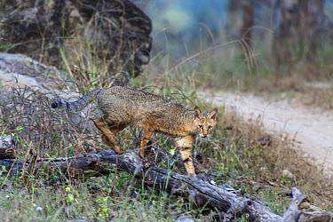 Jungle Cat (Felis chaus) walking towards a dirt track, Madhya Pradesh, India  -  Andrew Schoeman/ NIS