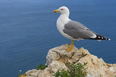 Yellow-legged Gull (Larus michahellis), Alicante, Spain  -  Hans Overduin/ NIS