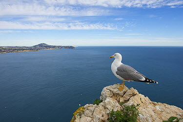 Yellow-legged Gull (Larus michahellis) on coast, Alicante, Spain  -  Hans Overduin/ NIS