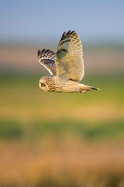 Short-eared Owl (Asio flammeus) flying, Elmley Marshes Reserve, Kent, England, United Kingdom  -  John Gooday/ NIS