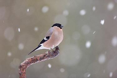Eurasian Bullfinch (Pyrrhula pyrrhula) female in winter, Sweden  -  Franka Slothouber/ NIS