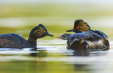 Eared Grebe (Podiceps nigricollis) parents feeding chick, Netherlands  -  Remco van Daalen/ NIS