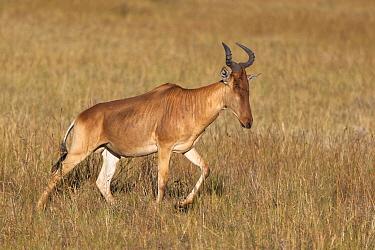 Common Hartebeest (Alcelaphus buselaphus) in savanna, Serengeti National Park, Tanzania  -  Andrew Schoeman/ NIS
