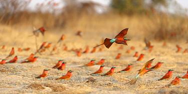 Southern Carmine Bee-eater (Merops nubicoides) flying through breeding colony, Zambezi River, Namibia  -  Brendon Cremer/ NIS