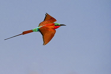 Southern Carmine Bee-eater (Merops nubicoides) flying, Zambezi River, Namibia  -  Brendon Cremer/ NIS