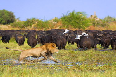 African Lion (Panthera leo) male chasing Cape Buffalo (Syncerus caffer) herd, Okavango Delta, Botswana  -  Brendon Cremer/ NIS