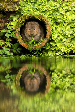 Water Vole (Arvicola terrestris) feeding on aquatic plant in drainage pipe, Kent, England, United Kingdom  -  Penny Dixie/ NIS