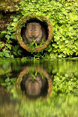 Water Vole (Arvicola terrestris) feeding on aquatic plant in drainage pipe, Kent, England, United Kingdom  -  Penny Dixie/ NIS