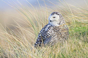 Snowy Owl (Nyctea scandiaca) surrounded by European Beachgrass (Ammophila arenaria), Europe  -  Edwin Rem/ NIS