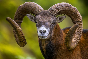 Mouflon (Ovis orientalis) ram with large horns, Goldau, Switzerland  -  Christian Biemans/ NIS