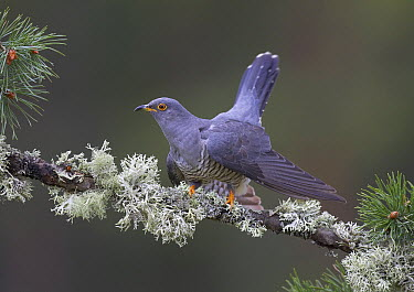 Common Cuckoo (Cuculus canorus) male in Scotch Pine (Pinus sylvestris), Cairngorms National Park, Scotland, United Kingdom  -  Peter Cairns/ NiS