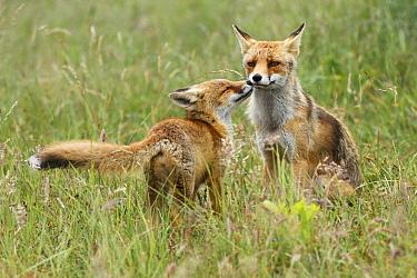 Red Fox (Vulpes vulpes) kit greeting mother, Netherlands  -  Roeselien Raimond/NiS