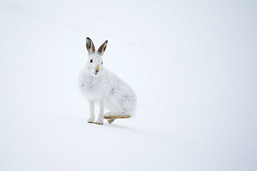 Mountain Hare (Lepus timidus) in winter, Cairngorms National Park, Scotland, United Kingdom  -  Mark Hamblin/ NIS
