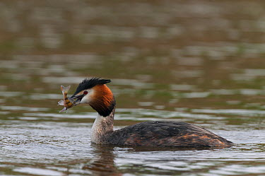 Great Crested Grebe (Podiceps cristatus) swimming with English Perch (Perca fluviatilis) prey, Netherlands  -  Dick Hoogenboom/ NIS