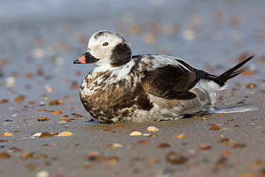 Long-tailed Duck (Clangula hyemalis) male with palm oil-polluted plumage, Netherlands  -  David Verdonck/ NIS