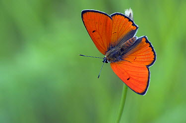 Large Copper (Lycaena dispar) butterfly, Hungary  -  Mira Diels/ NIS