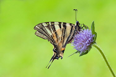 Scarce Swallowtail (Iphiclides podalirius) butterfly on Field Scabious (Knautia arvensis), Hungary  -  Mira Diels/ NIS