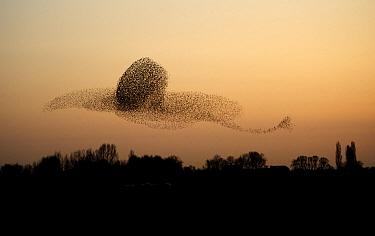 Common Starling (Sturnus vulgaris) murmuration flying at sunset, Gelderland, Netherlands  -  Hans Overduin/ NIS