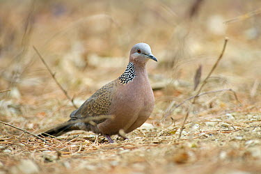 Spotted Dove (Spilopelia chinensis), Beijing, China  -  Hans Overduin/ NIS