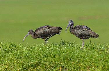 Glossy Ibis (Plegadis falcinellus) pair, Netherlands  -  Remco van Daalen/ NIS