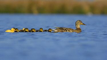Mallard (Anas platyrhynchos) female with ducklings on lake, Netherlands  -  Remco van Daalen/ NIS