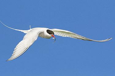 Arctic Tern (Sterna paradisaea) flying with fish prey, Farne Islands, England, United Kingdom  -  Bart  Breet/ NIS
