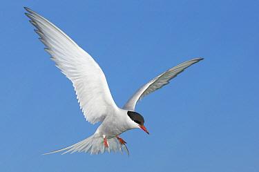 Arctic Tern (Sterna paradisaea) flying, Farne Islands, England, United Kingdom  -  Bart  Breet/ NIS