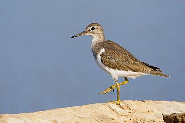 Wood Sandpiper (Tringa glareola), Sinai, Egypt  -  David Verdonck/ NIS