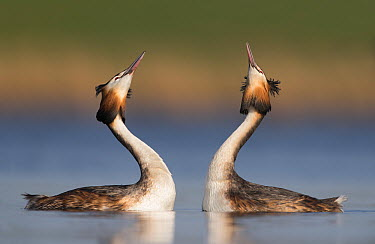 Great Crested Grebe (Podiceps cristatus) pair courting, Netherlands  -  Franka Slothouber/ NIS