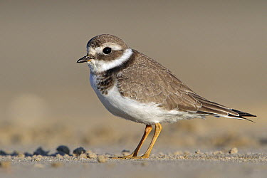 Common Ringed Plover (Charadrius hiaticula) on beach, Netherlands  -  Lesley van Loo/ NiS