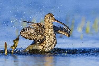 Eurasian Curlew (Numenius arquata) bathing, Antwerp, Belgium  -  David Verdonck/ NIS