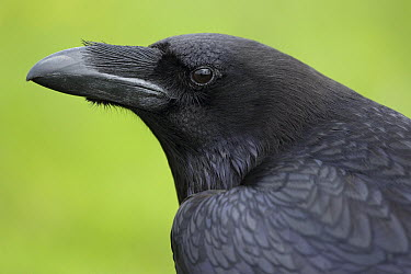 Common Raven (Corvus corax), Netherlands  -  Ronald Pol/ NIS