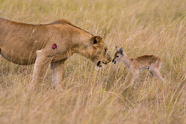 African Lion (Panthera leo) female looking at Kob (Kobus kob) calf, Queen Elizabeth National Park, Uganda  -  Adri de Visser